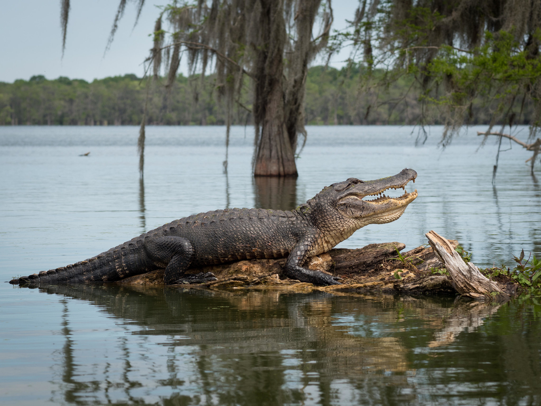 Main Critchlow Alligator Sanctuary